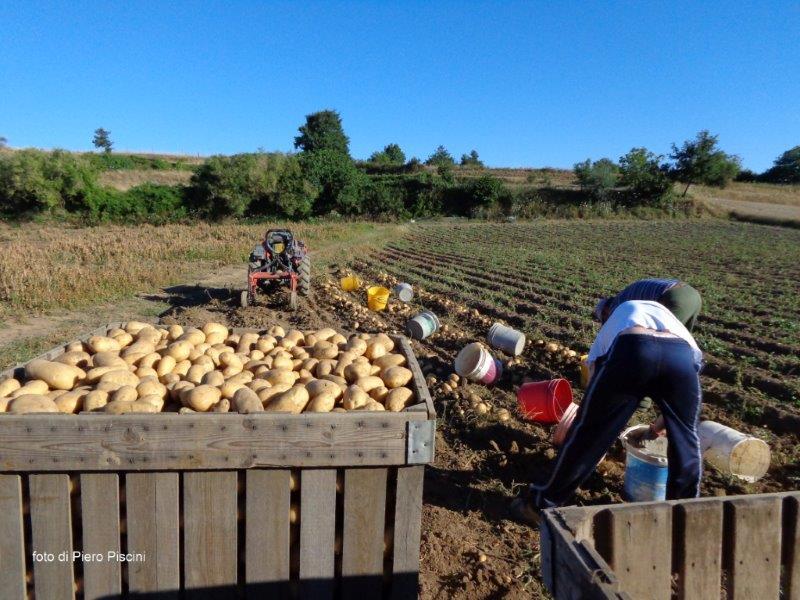 1 raccolta a mano di patate a grotte di castro 31 7 2013 for Raccolta patate